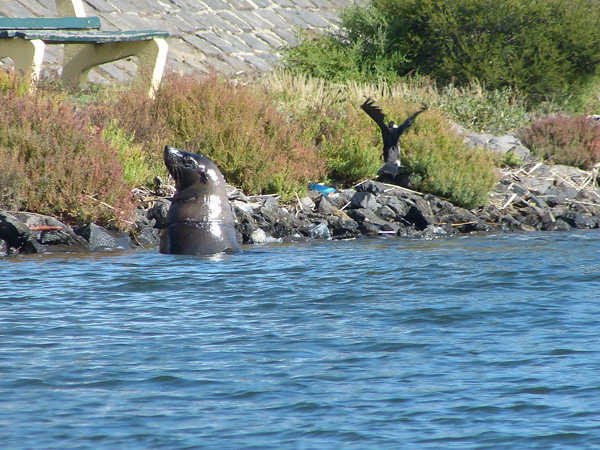 Seal-in-the-river---photo-b